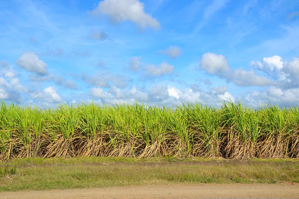 sugar-cane-1928773_960_720